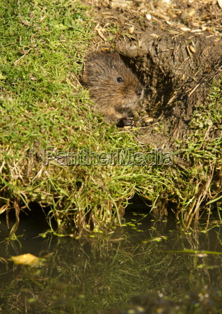 water vole arvicola terrestris at burrow