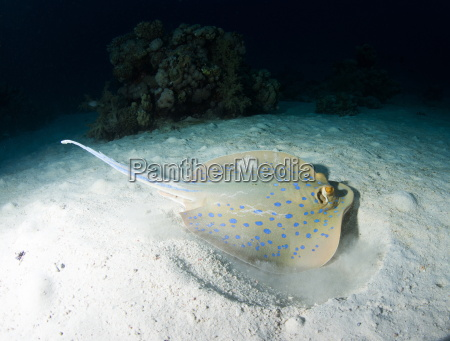 blue spotted ribbontail ray taeniura lemma