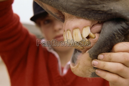 inspecting horses teeth england united kingdom