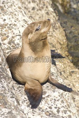 baby harbor seal childs beach la