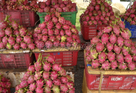dragon fruit vietnam indochina southeast asia