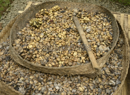 kopi luwak coffee harvested from the