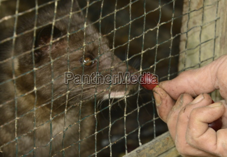 palm civet being fed coffe beans