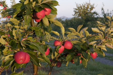 apple orchard somerset england united kingdom