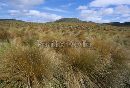 red tussock grass mossburn south island