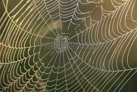 early morning dew on spiders web