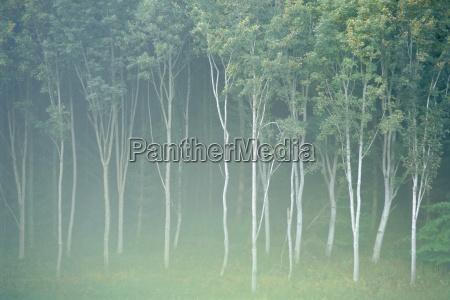 silver birch trees near contin highlands
