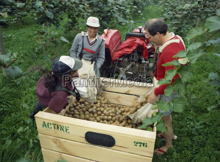 pickers unloading kiwi fruit into a