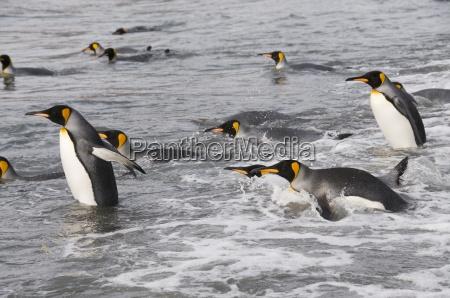 king penguins st andrews bay south