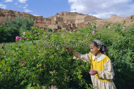cultivated roses grown in the dades