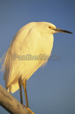 close up of a snowy egret