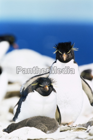 family of rockhopper penguins eudyptes chrysocome