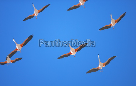 chilean flamingoes phoenicopterus chilensis in flight