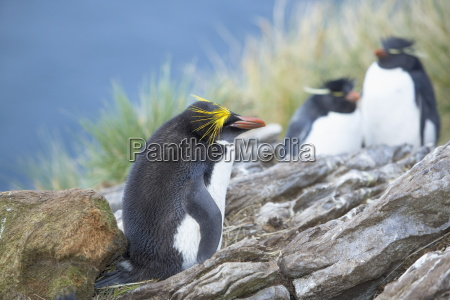 a macaroni penguin eudyptes chrysolophus east