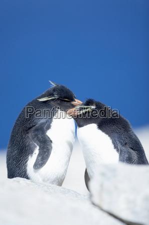 two rockhopper penguins eudyptes chrysocome chrysocome