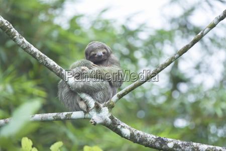 three toed sloth bradypus variegatus sitting