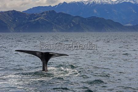 fluke of sperm whale diving kaikoura