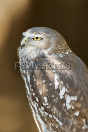 elmo the barking owl ninox connivens