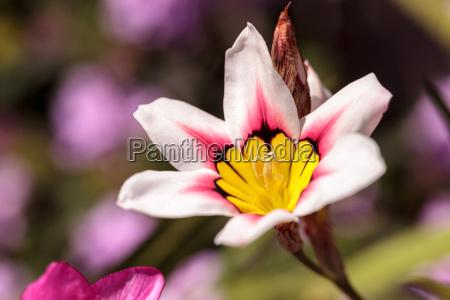 mariposa lily flower