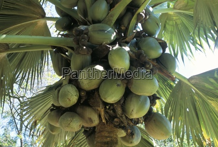 coconuts botanical garden victoria island of