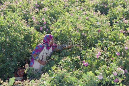 woman picking cultivated roses al ain