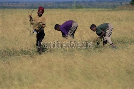boys in field harvesting tef woolisso