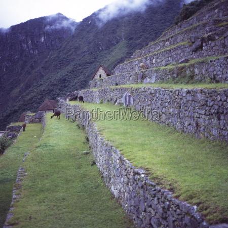 llamas eat grass near the main
