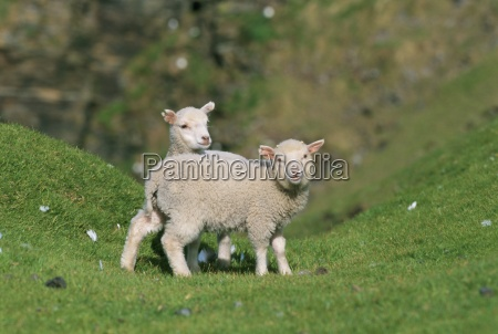 two lambs in june shetland islands
