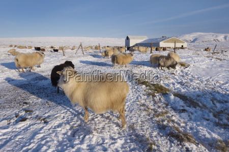 icelandic sheep in winter reykjanes peninsula