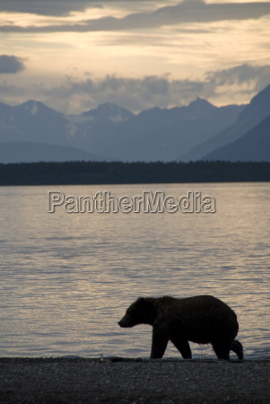 brown bear strolls the beach on