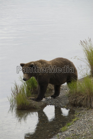 brown bear at brooks river brooks
