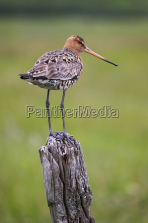 black tailed godwit limosa limosa perched