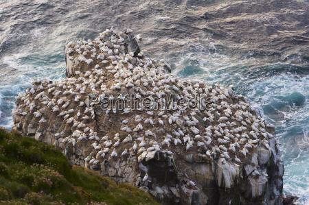 gannet colony sula bassana at langanes