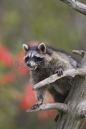 raccoon waschbaer procyon lotor in einem