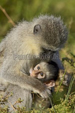 vervet monkey chlorocebus aethiops nursing addo