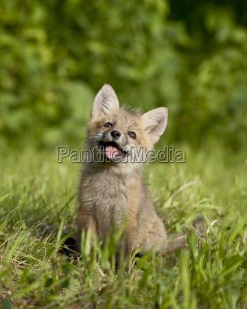 red fox vulpes fulva kit sandstone