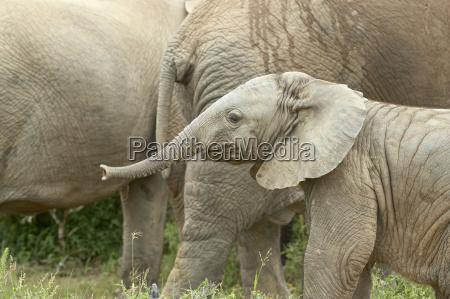 baby african elephant loxodonta africana addo