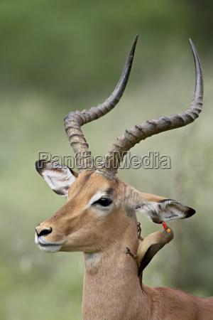 impala aepyceros melampus with a red