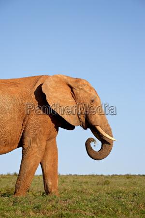 african elephant loxodonta africana addo elephant