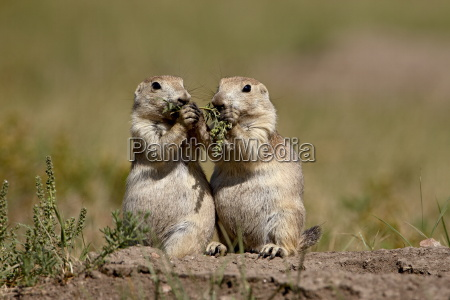 two blacktail prairie dog cynomys ludovicianus