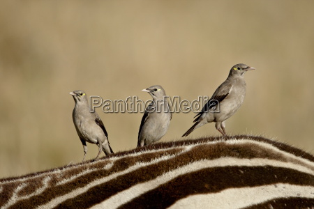 three wattled starling creatophora cinerea on
