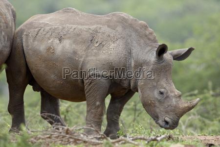 young white rhinoceros ceratotherium simum hluhluwe