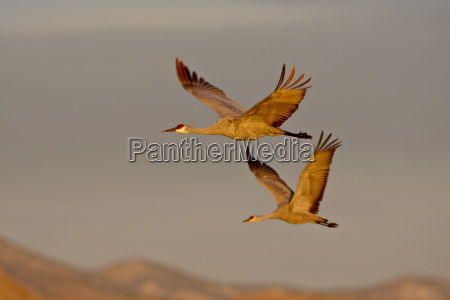 two sandhill cranes grus canadensis in