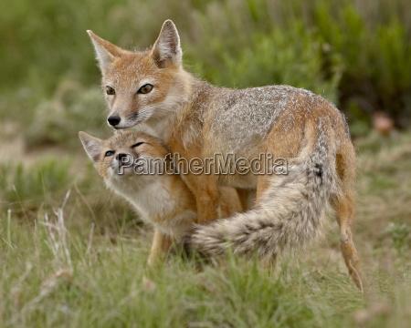 swift fox vulpes velox vixen and