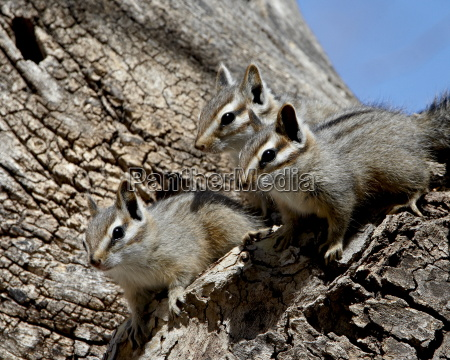 three young cliff chipmunk eutamias dorsalis