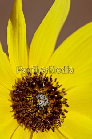 prairie sunflower helianthus petiolaris the needles