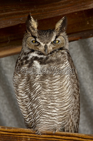 great horned owl bubo virginianus whitewater
