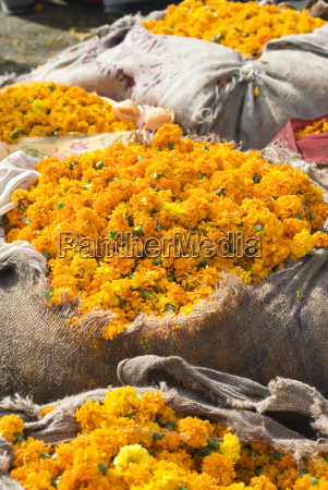 marigolds tied up in sacking ready