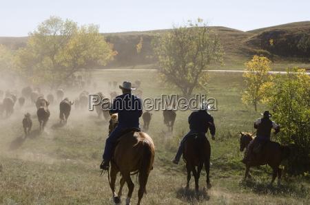 cowboys pushing herd at bison roundup