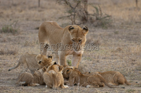 lion panthera leo female and cubs